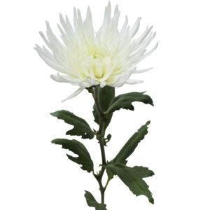 Anastasia white 1 stem