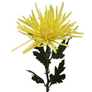 anatsia yellow 1 sten