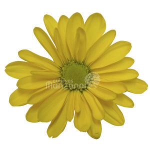 daisy yellow