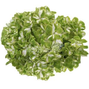 esmeralda variegada