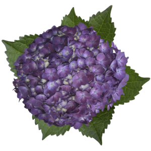 hydrangea elite purple