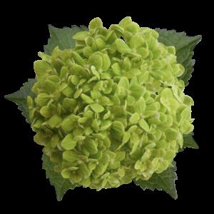 hydrangea esmeralda green