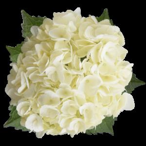 hydrangea white select