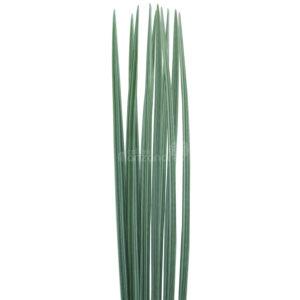 lily variegado