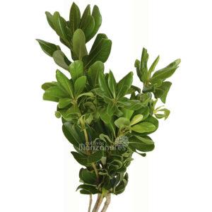pitus green