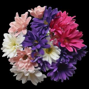 crazy daisy 5 stem white pink purple lavanda hot pink