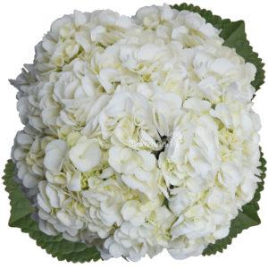 hydrangea white 3 stem