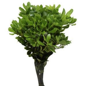 pittus green
